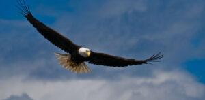 bald eagle soaring flying in blue sky
